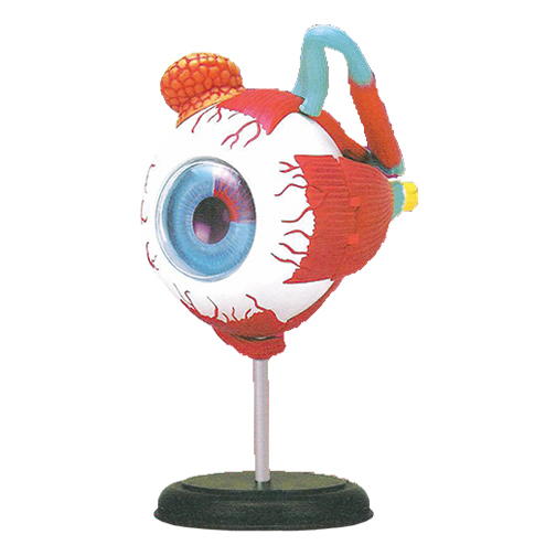 Eye Model with muscles